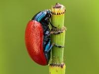 Chrysolina (Melasomoptera) grossa