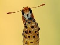Thymelicus acteon