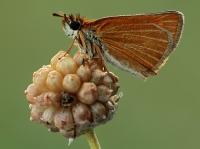 Thymelicus sp.
