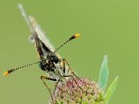 Heteropterus morpheus