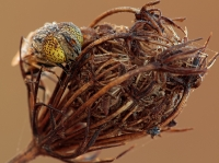 Eristalinus megacephalus