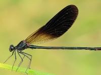 Calopteryx haemorrhoidalis