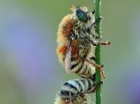 Fallenia fasciata