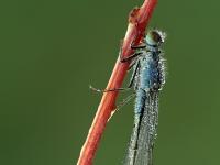 Ischnura elegans