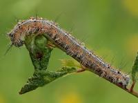 Malacosoma (Clisiocampa) neustria