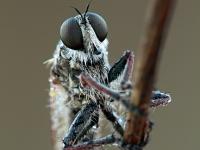 Machimus sp. - Tolmerus sp.