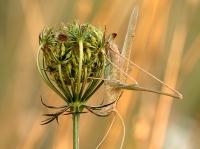 Thylopsis liliifolia