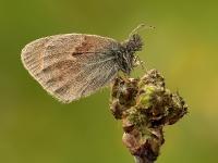 Coenonimpha pamphilus