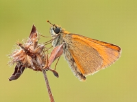 Zygaena lonicerae - Thymelicus sylvestris
