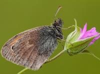 Nymphalidae - Satyrinae