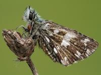 Pyrgus armoricanus